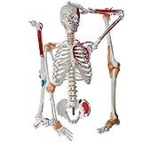 Menschliches Skelett Modell Größe 170cm - Menschlicher Muskel und Skelett Anatomisches Modell Gemälde Skulptur, Menschliches Anatomiemodell für die medizinische Lehre