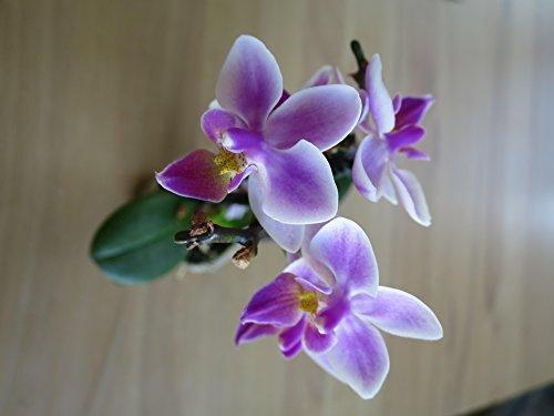 Mühlan Orchideen P-16