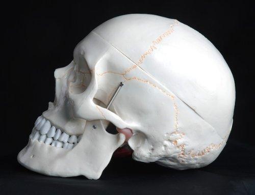 Zoom IMG-3 s24 2110 modello anatomico di