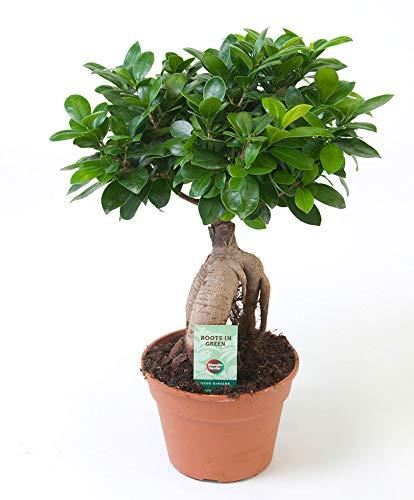 Bonsai Baum Ficus Ginseng Höhe 40-45 cm Topf-Ø ca. 17 cm