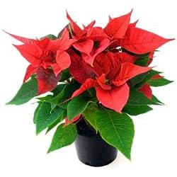 Planta de Navidad - Flor de Pascua NATURAL- Maceta 14cm. - Altura aprox.45cm. - Planta viva - (Envíos sólo a Península)
