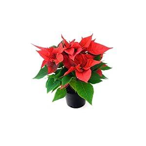 Planta de Navidad – Flor de Pascua – Pascuero – Poinsettia – Maceta 14cm. – Altura aprox.45cm. – Planta viva – (Envíos…