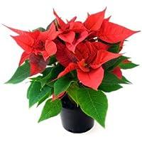 Planta de Navidad - Flor de Pascua - Pascuero - Poinsettia - Maceta 14cm. - Altura aprox.45cm. - Planta viva - (Envíos sólo a Península)