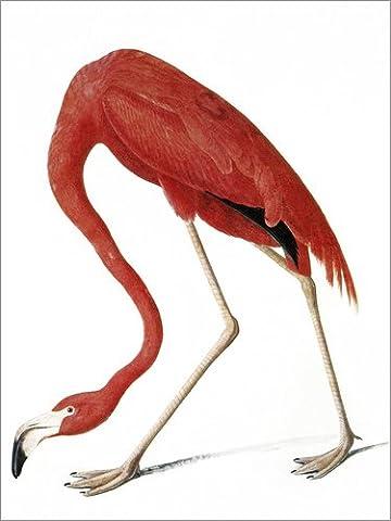 Poster 60 x 80 cm: Audubon: American Flamingo. von John James Audubon / Granger Collection - hochwertiger Kunstdruck, neues Kunstposter