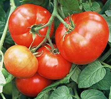 PLAT FIRM 30 Samen von iletz - Tomatoe Früh eaon