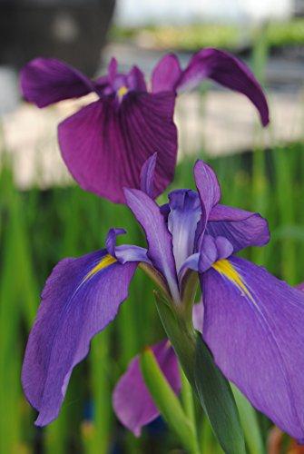 OBI blaue Sumpfschwertlilie
