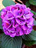 Bloom Green Co. Best-verkaufen20pcs / bag Geranie plantas Perennial Bonsai Blume Pflanze Pelargonium Peltatum flores Topf Geranie für Zuhause garde: Gelb