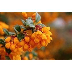 Tree Seeds Online - Berberbis Darwinii - Berberitze 50 Tragfähige Samen - 10 Packungen