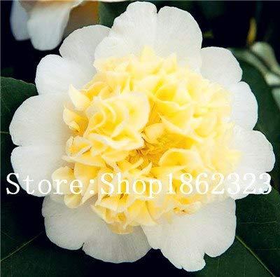 pinkdose 5 pz camellia fiori semi di camelia, semi di piante vaso bonsai indoor/outdoor per giardino di casa camellia japonica: 16