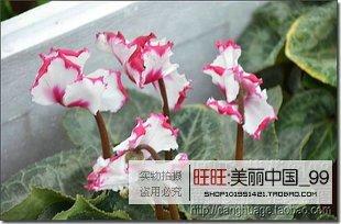 ASTONISH Erstauner SEEDS: freies Schiff 40seeds PLANT persischer ercup Seed POT Blume Pflanze GARTEN BONSAIS DIY HOME - Persischen Garten Blumen