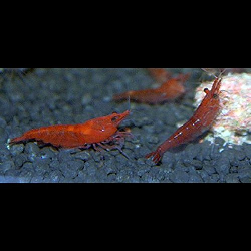 Zwerggarnelen Neocaridina Red Fire / Red Cherry 10 Stück TOPFARBE DNZ !