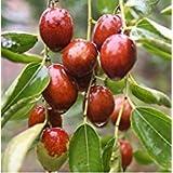 10pcs vegetali casa bonsai semi di giuggiola, semi di alberi da frutto perenne