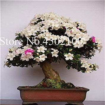 VISA STORE 100 Stück Exotische AZEA Bonsai, Misch Rhododendron AZEA, AZEA Bonsai Samen DIY Seedssseed für Hausgarten: 15