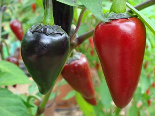 milde 10 Chilisamen - CHILLIESontheWEB Black Hungarian