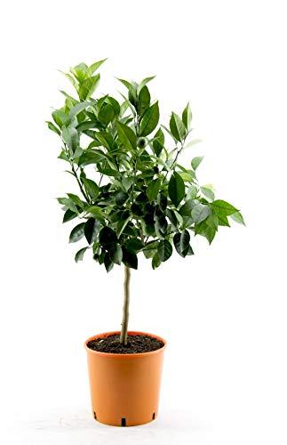 Citrus sinensis - echte Orange - Apfelsine - Pflanze 70-100 cm - Zitruspflanze