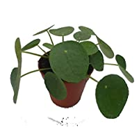 Chinese Money Plant. Pilea peperomioides houseplant in a 13cm Pot