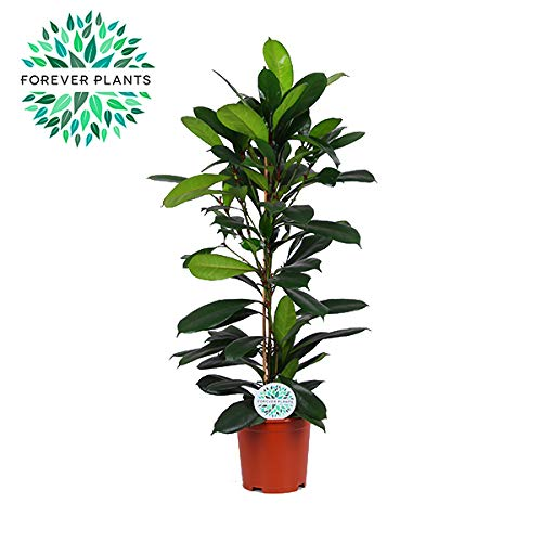 BOTANICLY | Plantas naturales | Altura: 100 cm | Ficus
