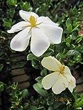 Gardenia jasminoides Kleims Hardy - Gardenie Kleims Hardy