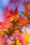 Seedeo Amerikanischer Amberbaum (Liquidambar styraciflua) 100 Samen
