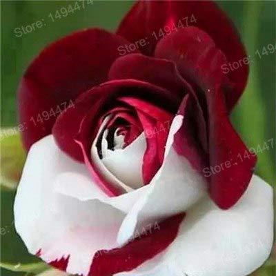 Pinkdose Vendita calda! 200pcs Rare Rosa dei bonsai piante colorate fiore arcobaleno speciale flores popolare plantas fiori giardino perenne cespuglio di rose: Giallo chiaro
