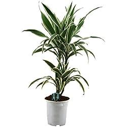 Dominik Blumen und Pflanzen, Blumen Drachenbaum Warneckii, 1 Pflanze, mehrfarbig