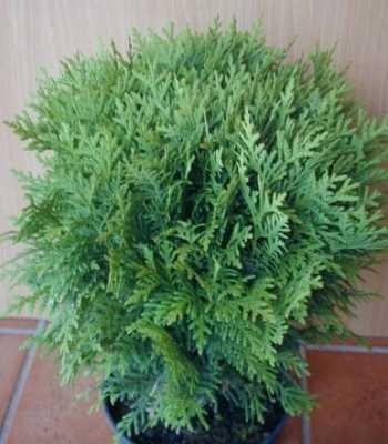 Kugel Lebensbaum Thuja occidentalis Danica 25-30 cm breit im 2 Liter Pflanzcontainer
