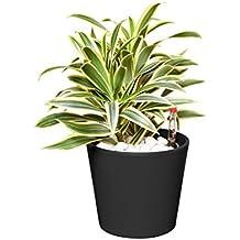 EVRGREEN Drachenbaum | | Zimmerpflanze in Hydrokultur | im Set inkl. Keramiktopf (anthrazit/schwarz) | dracaena reflexa song of india