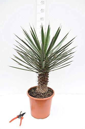 Besondere Yucca Raritäten - (filifera, ±90cm incl. Ø 31cn Topf mit 30-40cm Stamm)