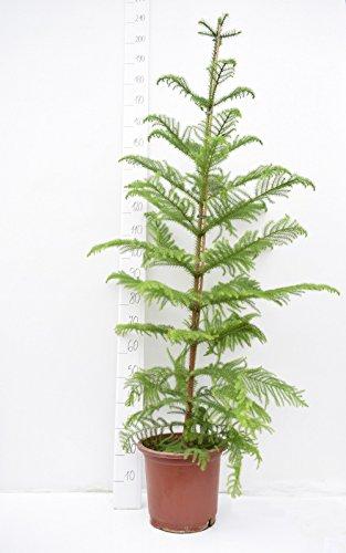 Norfolk Tanne - Zimmertanne - Araucaria Heterophylla - 180+cm Topf Ø 32cm