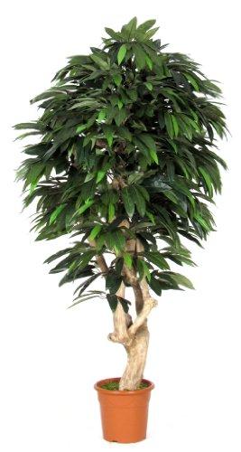 MANGO-Baum-Möbel Innenraum mit Stamm echter Mittelmeer-Hoch 175cm