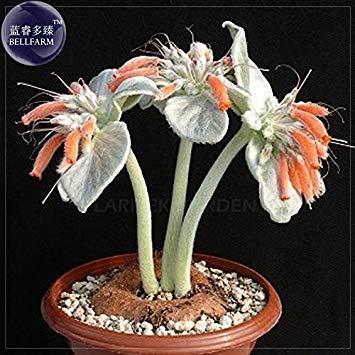 Pinkdose® 2018 Heißer Verkauf Sinningia (Rechsteineria) leucotricha Samen, 10 Samen, Silber Grau Sukkulenten mit Orange Blumen Samen E4055