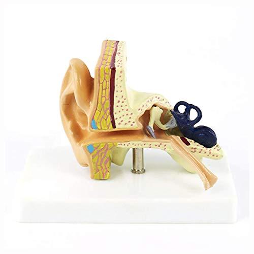 Huili Anatomisches Modell des Ohrs - Vergrößerung 1,5-Fach Internes Modell des menschlichen Gehörs Ohrstruktur Medizinisches Übungsmodell - für wissenschaftliche Anzeige -