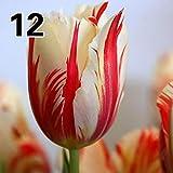 Kisshes Giardino - 50 Pz Tulipani Semi colorati Semi di fiori Bonsai Tulipani Piante da giardino Fiori da giardino Semi Hardy Perenni per giardino Balcone/Patio