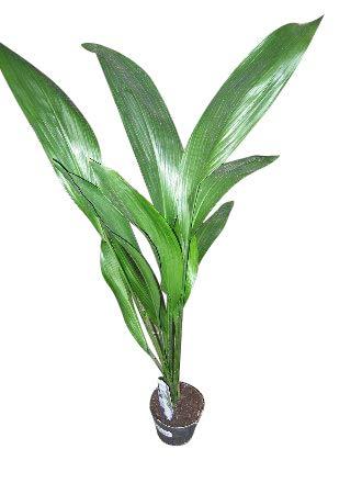 Schusterpalme Höhe 60 - 65 cm