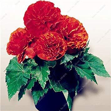 Nouveau! 150 Pcs Begonia Graines Bonsai Graines de fleurs Bonsai Maison & Jardin Flor Plantes en pot Purifier l'Office Air Bureau Fleurs 6