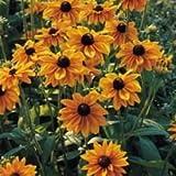 Fiore - Kings Semi - Confezione Multicolore - Rudbeckia - Marmalade