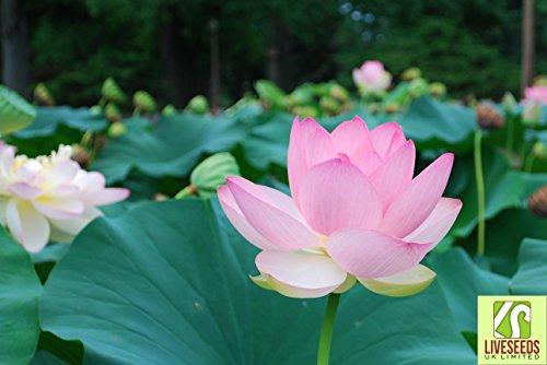 liveseeds-bonsai-lotus-bowl-teich-lotus-wasser-lilien-blume-hellrosa-5-samen