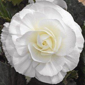 hptbdouble-white-tuberous-begoniaseedshouseplant-or-shade-garden-by-my-seedy-needs