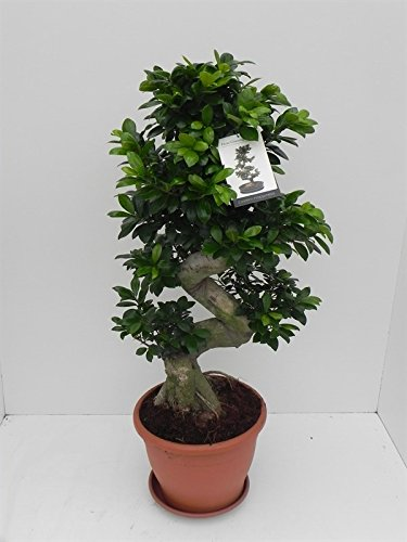 Ficus Ginseng, Ginseng Bonsai, (Ficus microcarpa), asiatischer Bonsai, verschiedene Größen (S-Form, im 29cm Topf, ca. 90cm hoch)