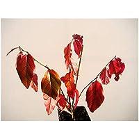 Parrotia Persica persa Ironwood fresco Starter planta (12–15cm de alto) en una 7cm Pot–pequeño árbol con espectacular Otoño Coloración
