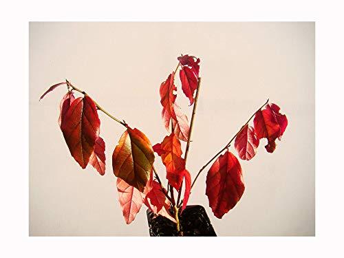 Parrotia persica persica Persische Eisenholz Fresh Starter Pflanze (12-15cm hoch) in einem 7cm Topf-Kleine Baum mit Spektakuläre Herbst Färbung - Zimt-rinde-baum