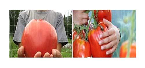 Lot de 20 graines de tomates géantes F1 Ox en forme de cœur géant