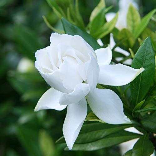 mocris 100psc bonsai cortile all'aperto semi di gardenia bonsai semi di piante fiori