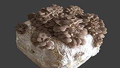 Idea Regalo - 3 Pezzi Pane di Fungo Funghi Cardoncelli della Puglia Pugliesi da 3 kg più cacciate con micelio selezionato di Prima Scelta