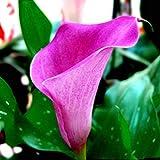 Shopmeeko Graines: 2 pièces vente chaude vrai bulbes de lys calla, fleur noble, élégant plantes pour donner décoration de jardin, des fleurs vivaces de jardin: 2...