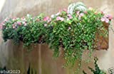 Produkt-Bild: Virtue Creeping Wire Vine,a. K. a Mattress Vine (10 Seeds) Muehlenbeckia axillaris