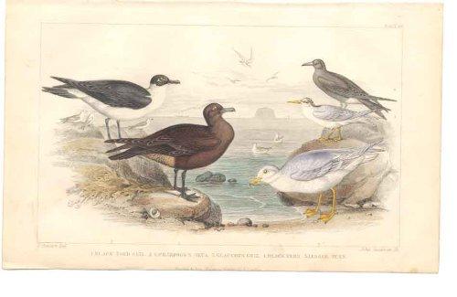 gabbiani-sterne-degli-uccelli-dellorafo-h-c-1859