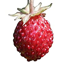 Wald-Erdbeere (Fragaria vesca) 20 Samen auch Monatserdbeere genannt