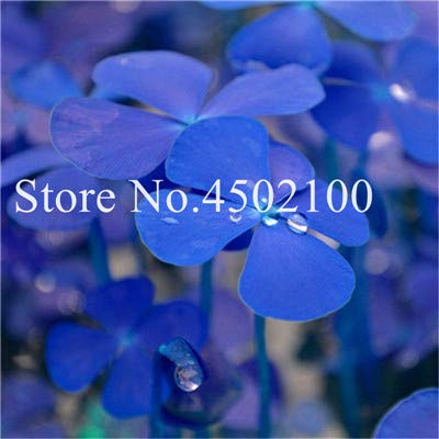 Bloom Green Co. 100 Pcs quatre feuilles, amant Bonsai Sensitive Herbe Fleur Bonsai, Plantes sensibles Bashful Herbe Plantes en pot Four Seasons: 15