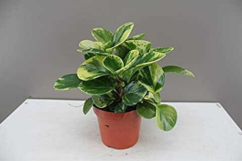Gold-Green Baby Rubber Plant - Small tropical Houseplant - Ideal gift for Birthdays, Thank you's and Congratulations - Helps purify air - Often used as a terrarium plant or in offices and windowsills - Peperomia Obtusifolia.